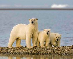 polar_bear_cubs